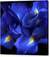 Evening Iris Canvas Print
