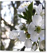 Evening Show - Cherry Blossoms Canvas Print