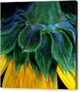 Evening Sunflower Canvas Print