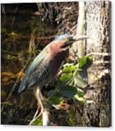 Everglades Inhabitant Canvas Print