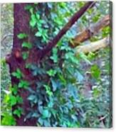 Evergreen Tree With Green Vine Canvas Print