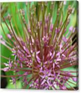 Evolving Allium Canvas Print