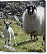 Ewe And Lamb No2 Canvas Print