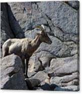 Ewe Bighorn Sheep Canvas Print
