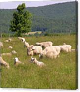 Ewe's Eye View Canvas Print