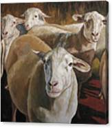 Ewes In The Paddock Canvas Print