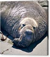 Exhausted Elephant Seal Canvas Print