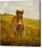 Exmoor Wild Pony Canvas Print