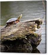 Exploring Turtle Canvas Print