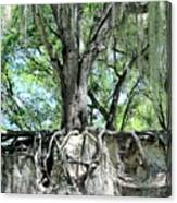 Exposed - Oak Roots Canvas Print
