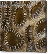 Extreme Close-up Of A Crust Anemone Canvas Print