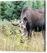 Eye-contact With The Moose Canvas Print