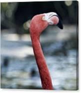 Eye Of The Flamingo Canvas Print