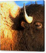 Eyes Of The Bison Spring 2018 Canvas Print