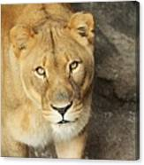 Eyes Of The Lioness Canvas Print