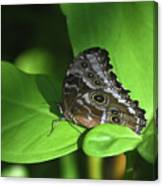 Eyespots On The Closed Wings Of A Blue Morpho Butterfly Canvas Print