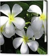 F1 Plumeria Frangipani Flowers Hawaii Canvas Print