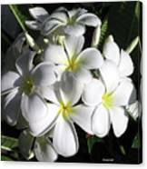 F13-plumeria Flowers Canvas Print
