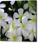 F2 Plumeria Frangipani Flowers Hawaii Canvas Print