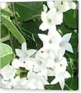 F7 Stephanotis  Flowers Canvas Print