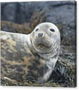 Face Of A Gray Seal Canvas Print