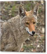 Face Of The American Coyote Canvas Print
