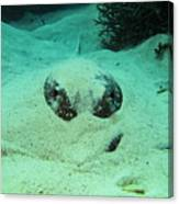 Face Off With Stingray Canvas Print