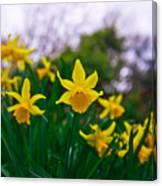 Daffodils Sky Canvas Print