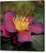 Fading Camellia Canvas Print