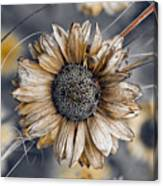 Fading Oxeye Canvas Print