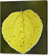 Fall Aspen Leaf Canvas Print