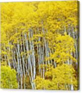 Fall Aspen Meadow Canvas Print