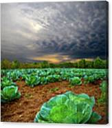 Fall Cabbage Canvas Print