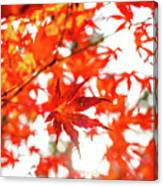 Fall Color Maple Leaves At The Forest In Kochi, Japan Canvas Print