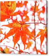 Fall Color Maple Leaves At The Forest In Kumamoto, Japan Canvas Print