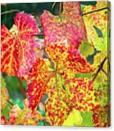 Fall Colors At The Vineyard Canvas Print