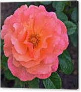 Fall Gardens Full Bloom Harvest Rose Canvas Print