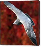 Fall Gull Canvas Print