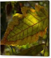 Fall Leaf 2010 Canvas Print