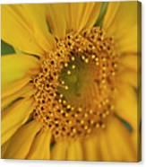 Fall Sunflower Avila, Ca Canvas Print