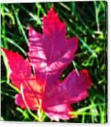Fallen Maple Leaf Canvas Print