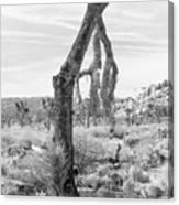 Falling Joshua Tree Branch Canvas Print