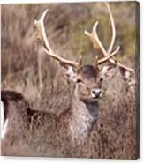 Fallow Deer Buck Canvas Print