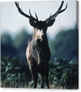 Fallow Deer Male Canvas Print