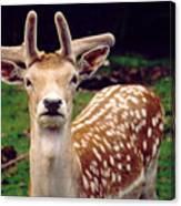 Fallow Deer Portrait Canvas Print