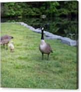 Family Of Geese Canvas Print