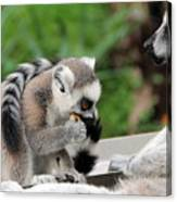 Family Of Lemurs Canvas Print