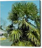 Fan Palm Tree Canvas Print