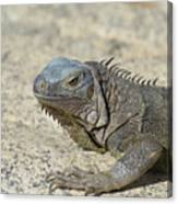 Fantastic Gray Iguana With Spines Along His Back Canvas Print