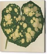 Farfugium Grande  Leopard Plant, Green Leopard Plant Canvas Print